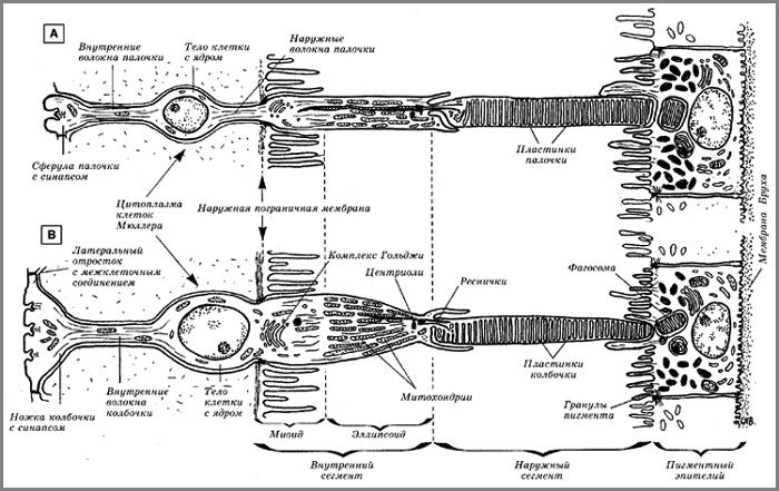 синаптического контакта